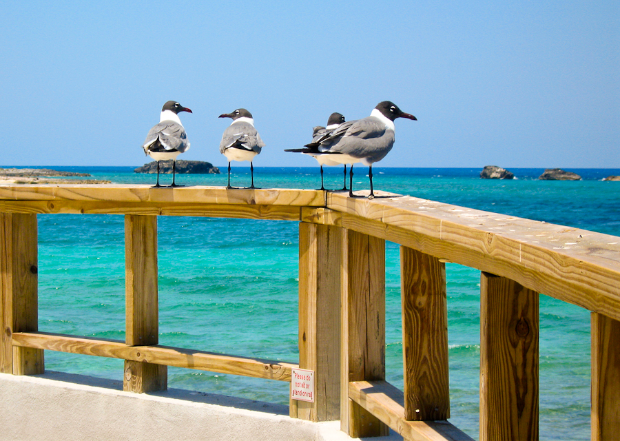 Seagulls on the Boardwalk in Bahamas